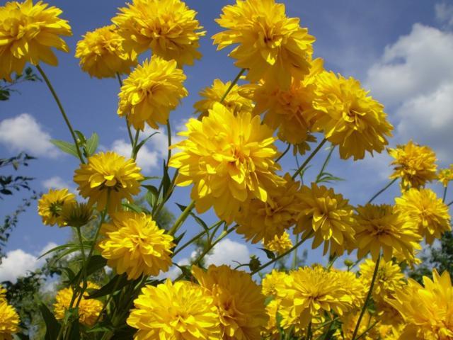 12 Многолетников для цветников, не требующие ухода - Золотые шары