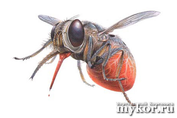 Муха цеце Glossina morsitans фото