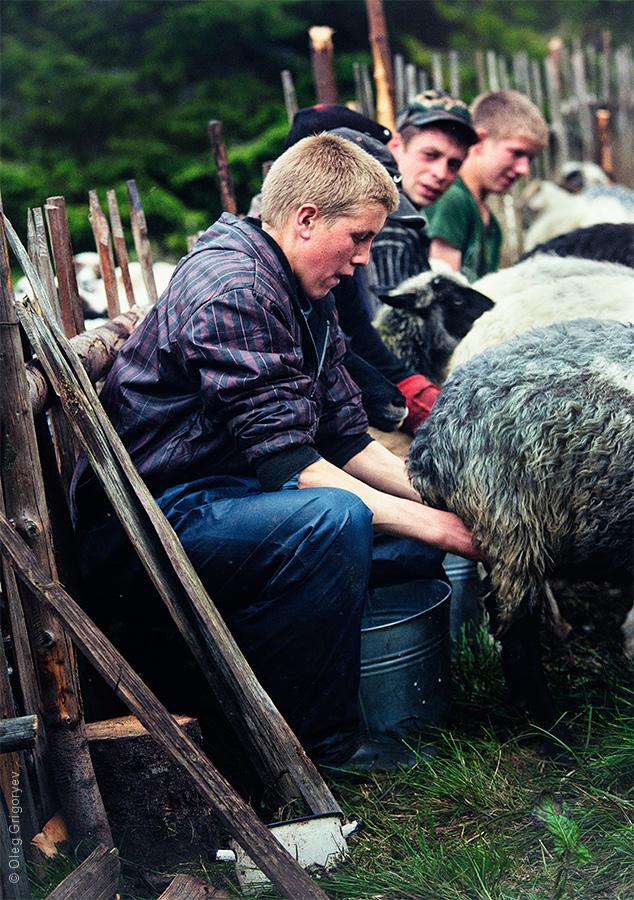 чабаны доят овец