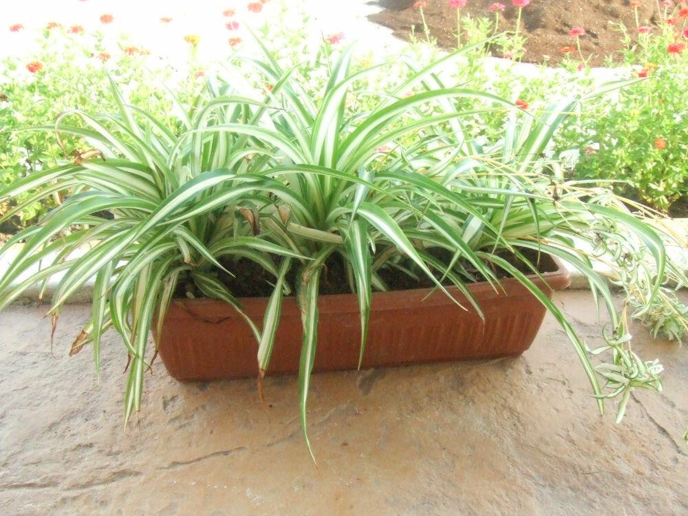 Хлорофитум (Chlorophytum или Венечник)