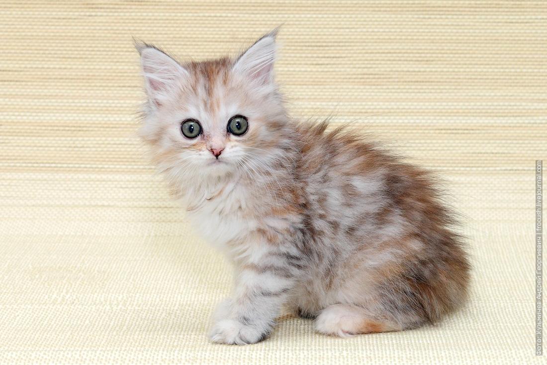 ми ми ми фото мейнкун котенок