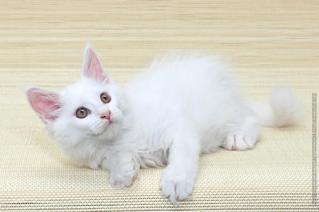 недорого котенок мейн-кун