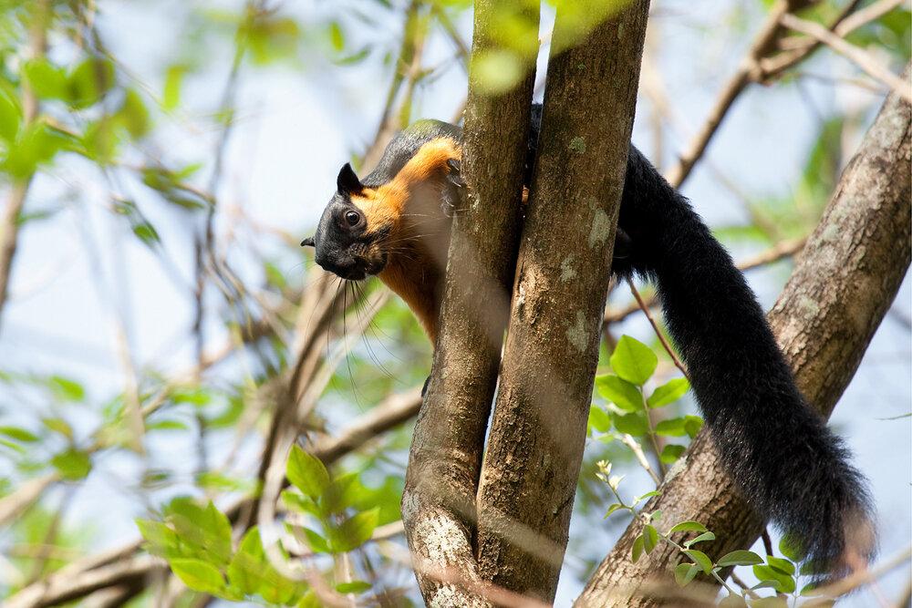 Двухцветная белка (Ratufa bicolor)