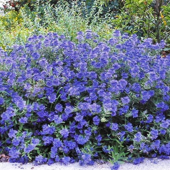 Цветник синий - цветник надежды-кариоптерис-синяя борода