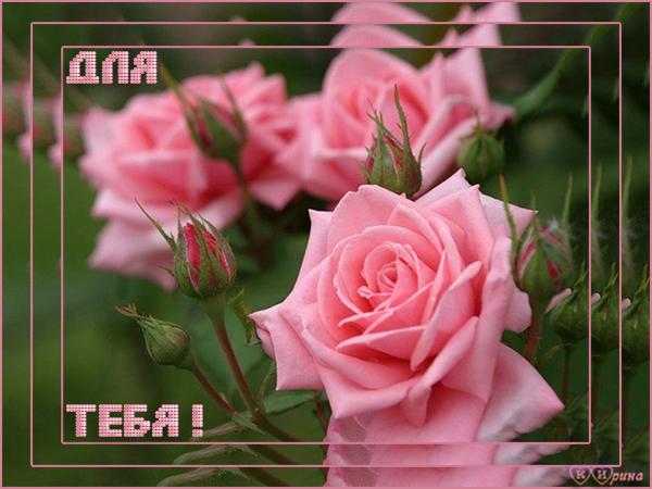 Для тебя! Розовые розы открытки фото рисунки картинки поздравления