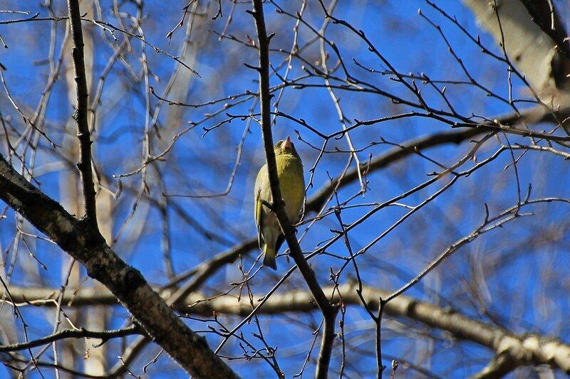 Обыкновенная зеленушка (Carduelis chloris) на дереве в Александровском саду
