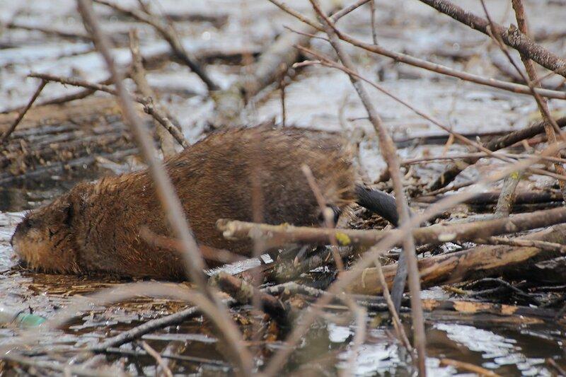 Ондатры или мускусные крысы (Ondatra zibethicus) на груде плавающих веток у кустов во время половодья на Вятке