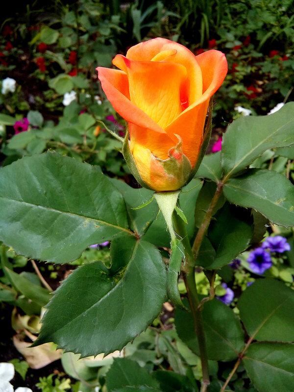 Роза-6.jpg