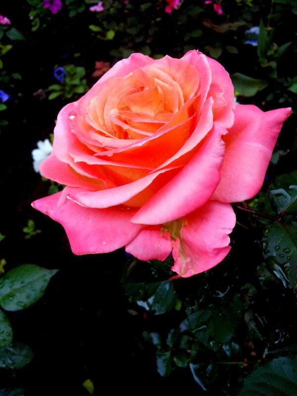 Роза-16.jpg