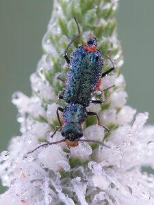 Малашка двупятнистая Malachius bipustulatus (Cleroidea: Malachiidae)Альбом:  Мир под ногами /  Жесткокрылые или жуки / Неразобранное в Жесткокрылые