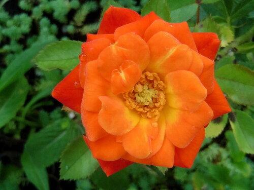 Роза с тремя капельками воды.