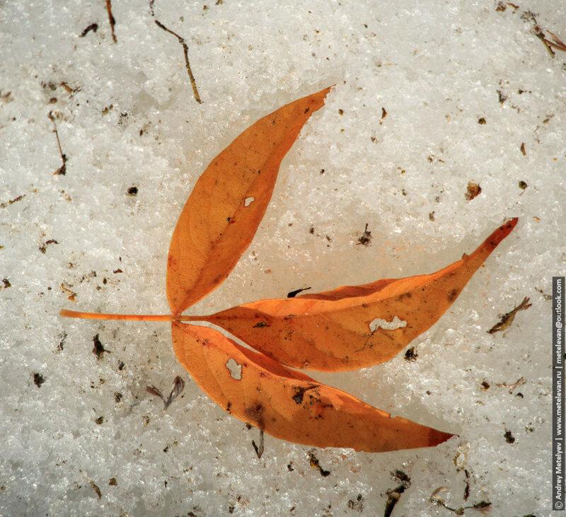 опавший весною лист в снегу