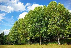 Деревья положительно влияют на здоровье человека