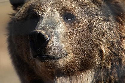 В серии взломов автомобилей подозревают медведя