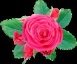 NLD Rose 1.png