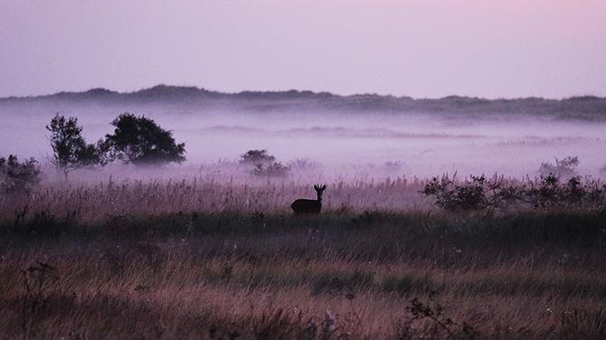 Олень в тумане, возле реки Тис, Англия.
