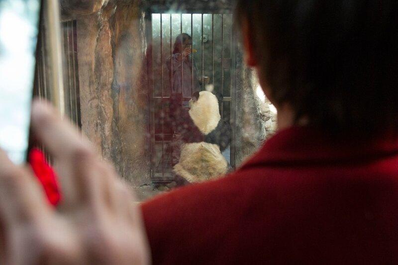 Панда и служитель зоопарка