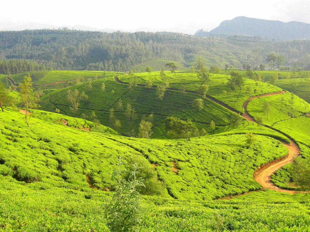 Ах эти чайные плантации на Шри-Ланке!!! Как надолго они остались в сердце многих путешественников!