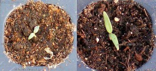 Выращиваем картофель из семян через рассаду