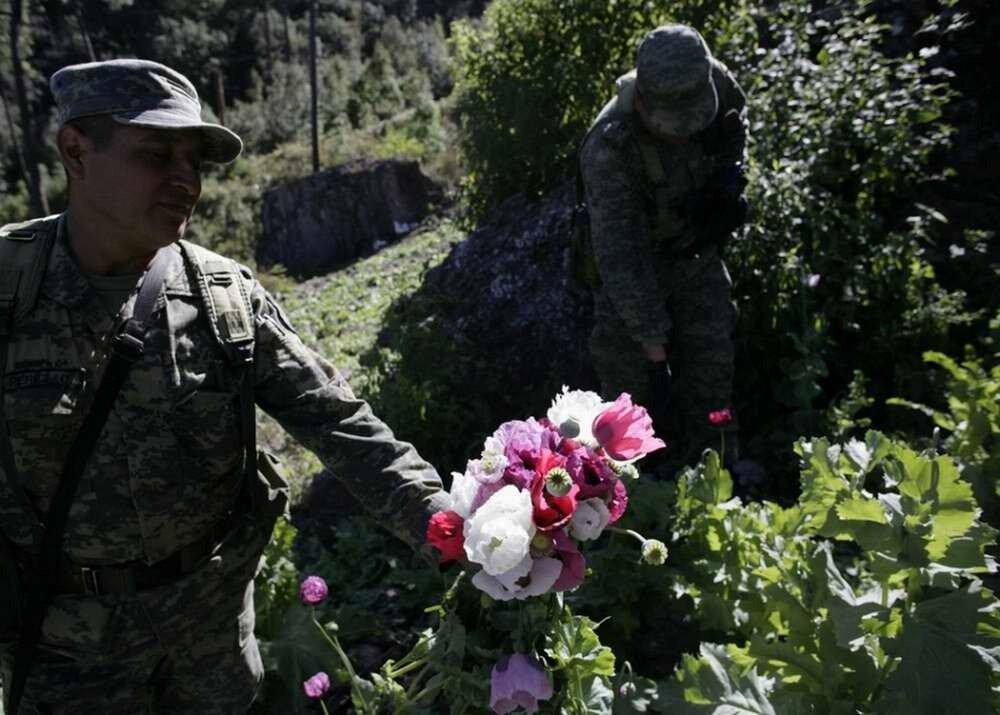 Солдаты срывают головки с посевов мака, используемые для получения героина, которые были обнаруженные во время специальной операции по борьбе с наркотиками в окрестностях города Кульякан
