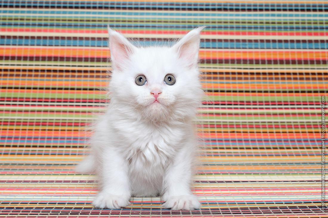 Мейн-кун котенок из питомника в Москве