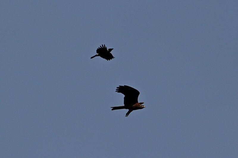 Ворона гоняет коршуна