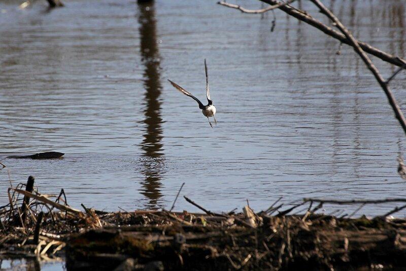 Взлёт кулика с сплавнины над рекой Вяткой во время половодья