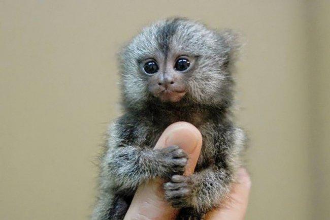 Самая маленькая обезьяна.