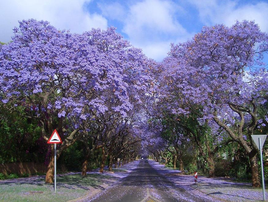 Тоннель из цветущей Джакаранды.
