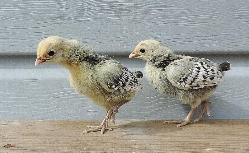 27 апреля 2014, апрель, куры, цыплята, цыплята 2014
