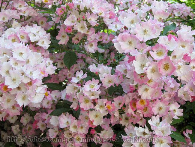 Розовое облако цвета
