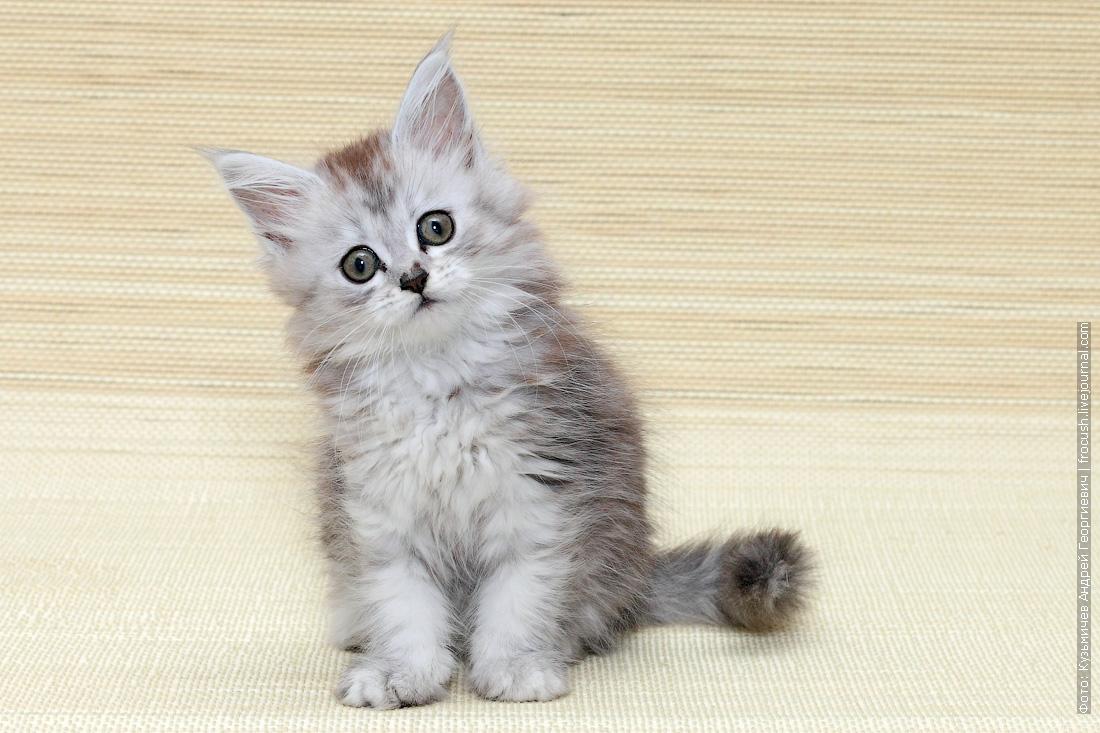 питомник мейн кун котенок