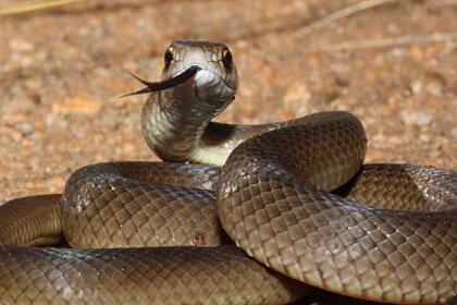 Когда австралийца укусила ядовитая змея, он запил горе пивом