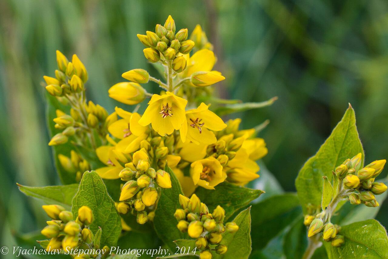 Вербейник обыкновенный (Lysimachia vulgaris). Автор фото: Вячеслав Степанов