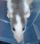 Крысота