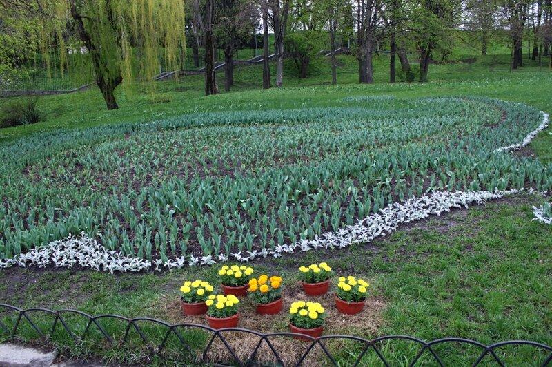 Нераскрывшиеся тюльпаны
