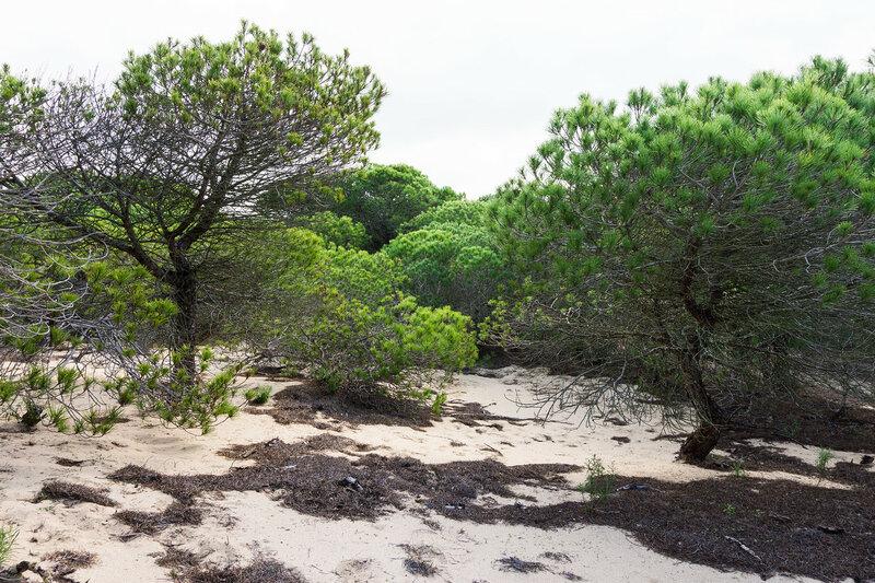 сосновый лес на песке на берегу Света (costa del luz), Кадис