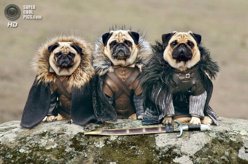 «Игра престолов» с мопсами