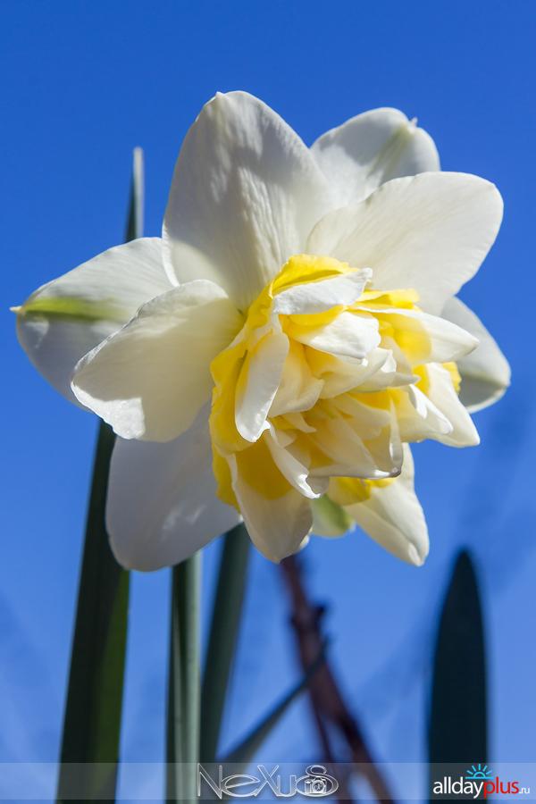 Я люблю все цветы, выпуск 155 | Нарцисс «Ice King» и «Lemon Beauty».