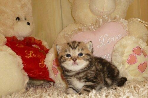 Британские котята из питомника Camelot Castle 0_e730b_1fe3dbd0_L