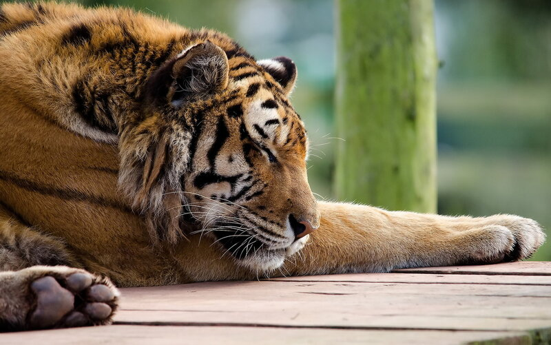 Тигр спит