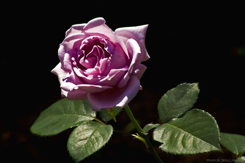 Роза лилового цвета.