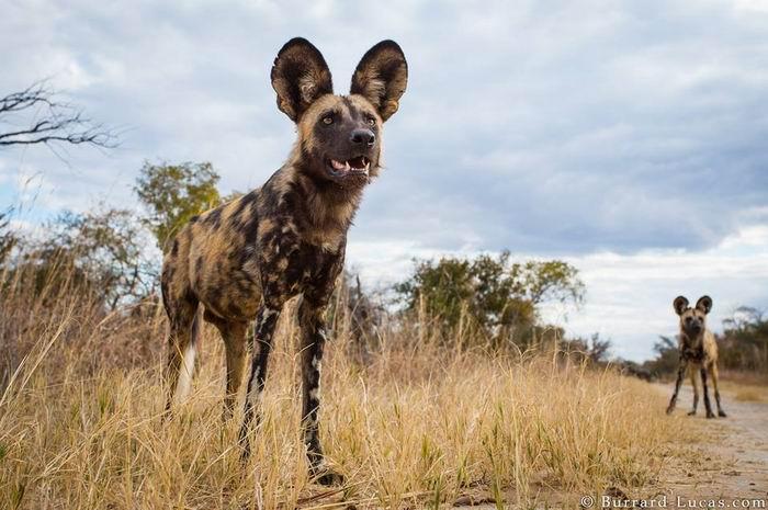 Wild-life фотограф Will Burrard-Lucas. Сурикаты и к5a8омпания. 45 фото