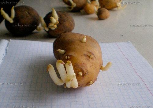 Картофель даёт новые ростки