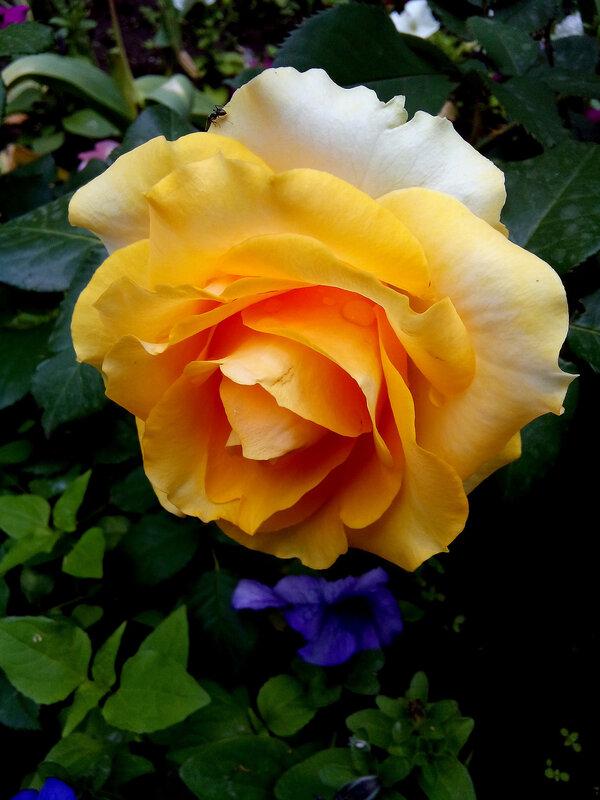 Роза-19.jpg