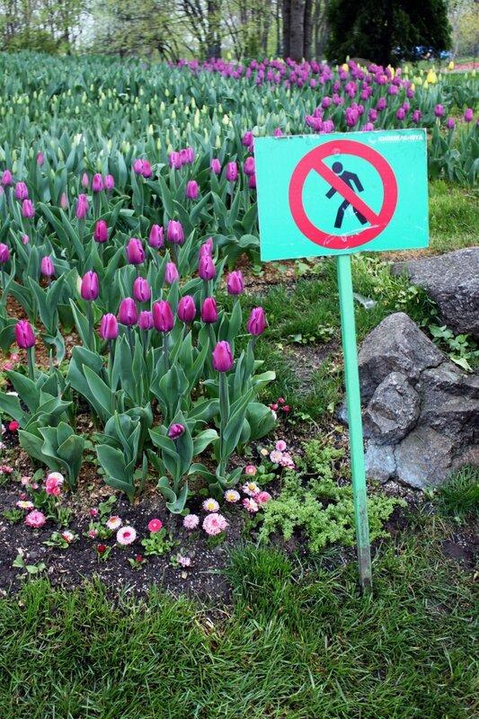 Тюльпаны на Певческом поле