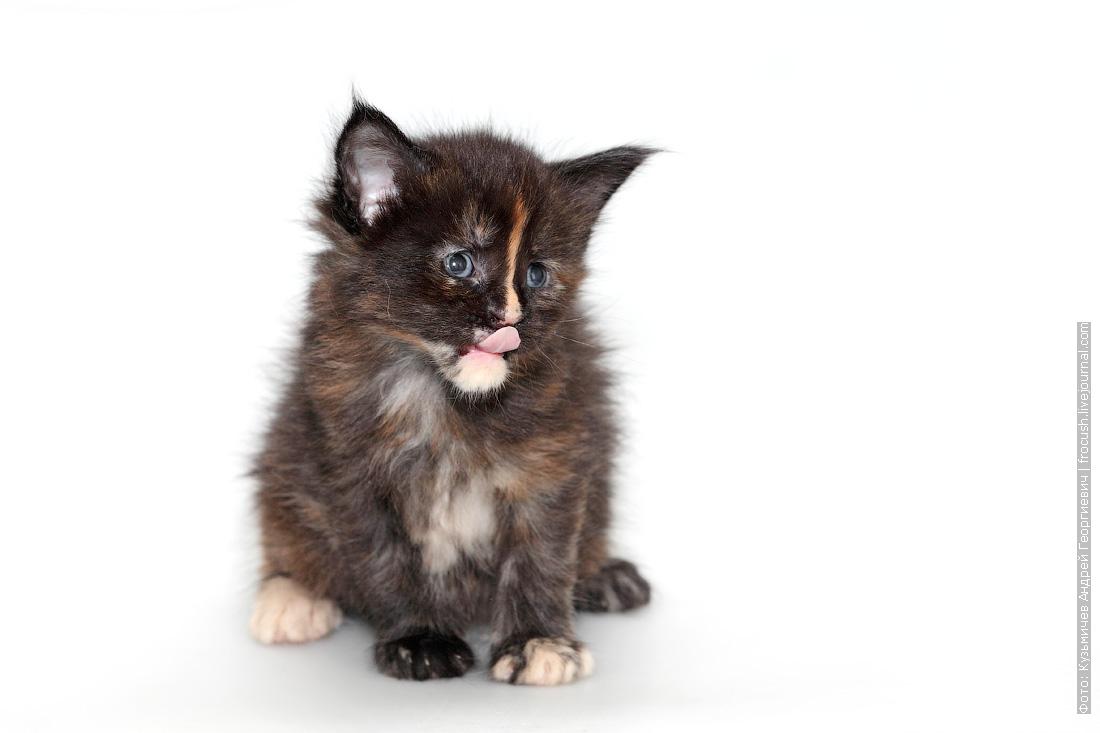 черепаховый окрас котенок мейн-кун