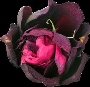розы малиновые