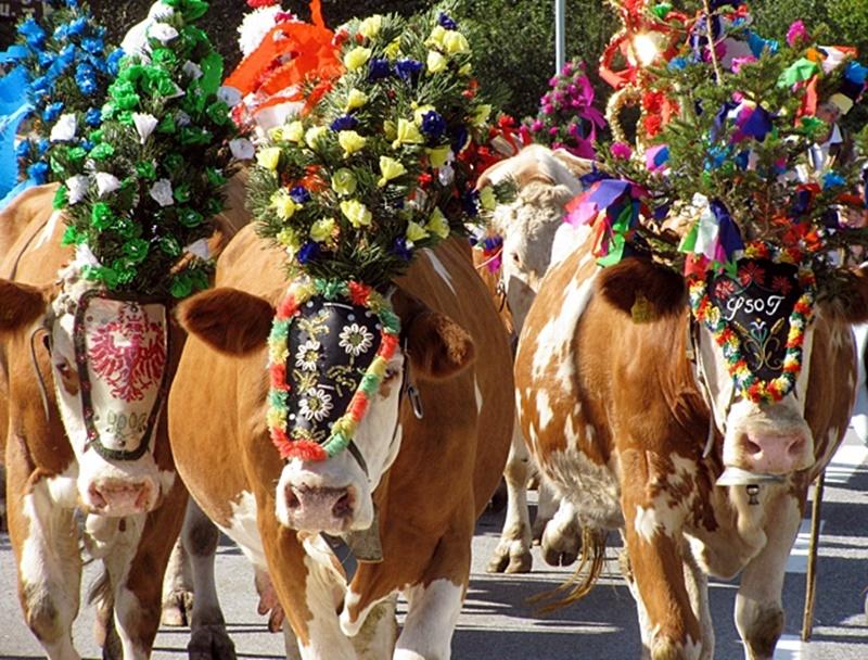 Коровий праздник в Альпах! Цветы для немецких коров