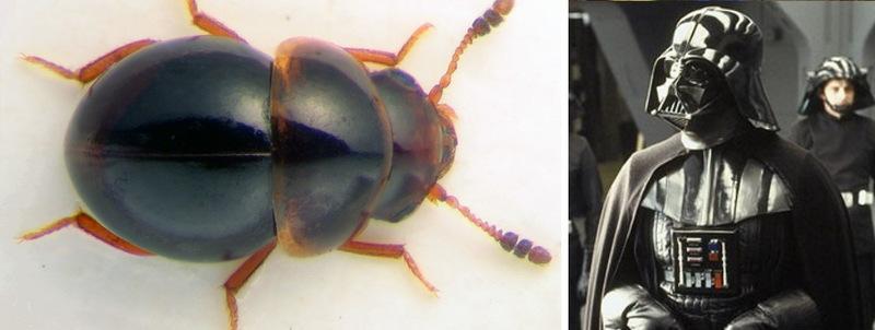 6. Жук Agathidium vaderi и Дарт Вейдер. Да пребудет сила с этим редким жуком, названным в честь глав